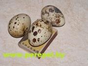 Инкубационное и пищевое яйцо перепела