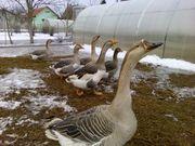3 пары половозрелых гусей (большая серая) - см.фото