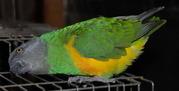 Продаю Сенегальского длиннокрылого попугая)
