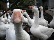 Продам домашних гусей живым весом