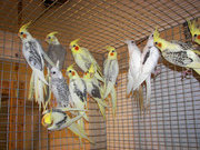Попугай кареллы