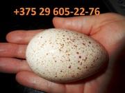 Инкубационное яйцо суточное,  индюшиное