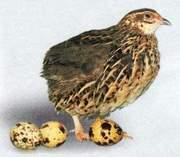 Перепела любого возраста,  инкубационные яйца