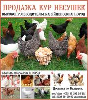 Продажа кур-несушек высокопроизводительных яйценоских пород.